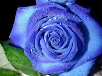 Hoa hồng xanh (Ảnh: plaza)