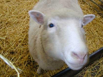 Cừu Dolly ra đời tại Scotland, gây chấn động toàn cầu khi trở thành con vật được nhân bản đầu tiên.