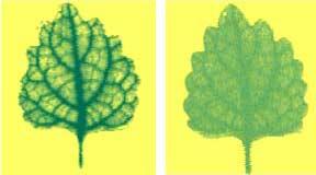 Tia T được sử dụng để chụp ảnh một chiếc lá khi bị khử nước và sau khi bổ sung nước