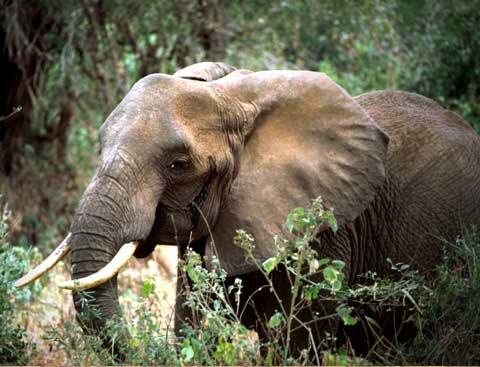 Voi - Elephant