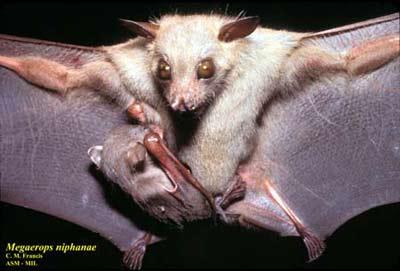 Dơi quả không đuôi lớn - Megaerops-niphanae