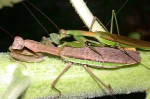 Trong một mùa yêu, mỗi nàng bọ ngựa có thể ăn tươi nuốt sống hàng chục bạn tình