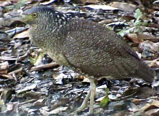 Loài chim Gorsachius melanolophus ở rừng Cúc Phương