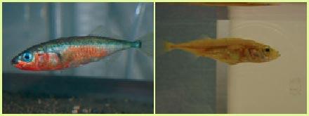 AI SẴN SÀNG? Lớp da sáng màu của một con cá gai đực bị bắt từ tự nhiên (ảnh trái) cho thấy chúng đã sẵn sàng để thụ tinh. Đứa con bị nhiễm độc perchlorate (ảnh phải) chỉ còn lại lớp da màu nâu xám và không hứng thú trong việc kết giao.