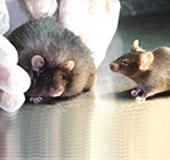 Chuột được chủng ngừa béo phì (phải) và chuột béo phì