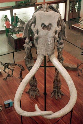 Bộ xương voi ma mút cổ trưng bày tại Bảo tàng lịch sử tự nhiên Pratt (Mỹ).