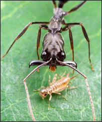 Hàm của con kiến là một công cụ rất đa năng