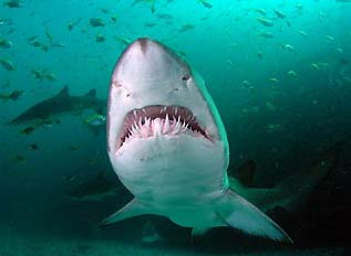 Loài cá mập Carcharias Taurus