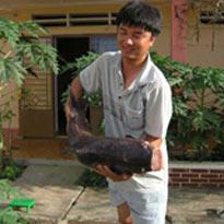 Thạc sĩ Huỳnh Hữu Ngãi và một con cá hô mẹ vừa được gây mê chuẩn bị lấy trứng.