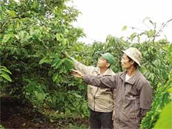 Cây cà phê bị ấu trùng ve sầu phá hoại đã bắt đầu vàng lá