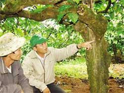 Cán bộ Trung tâm Nông nghiệp huyện Di Linh, Lâm Đồng đang khảo sát mật độ ve sầu trên cây cà phê.
