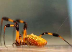 Các nhà khoa học MIT hy vọng rằng nhện tơ vàng sẽ giúp họ biết được cách sản xuất tơ nhân tạo bền và chắc.