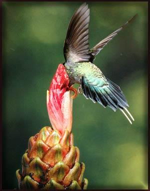 Chim ruồi phía bắc dãy Andes.
