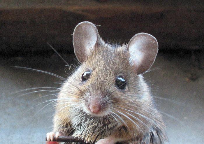 mouse1 xem tuổi xông nhà đầu năm Đinh Dậu 2017 cho gia chủ tuổi Giáp Tý sinh năm 1984