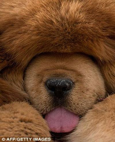 Cận Cảnh Loài Chó Ngao Tây Tạng Giá Khủng Khoahoctv
