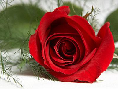 [Image: rose.jpg]
