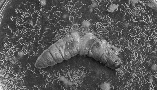 Những ký sinh trùng có khả năng chuyển giới và điều khiển loài khác