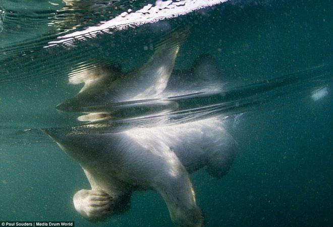 Gấu Bắc Cực học bơi việt dã