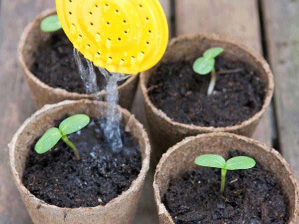 Kỹ thuật trồng hoa hướng dương trong chậu