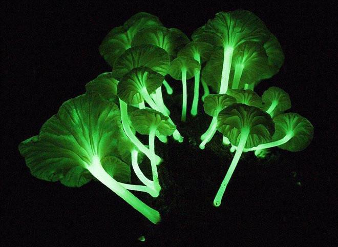 Ánh sáng xanh kỳ ảo của nấm phát quang