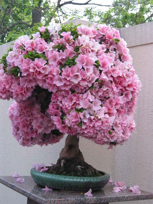 trồng hoa đỗ quyên