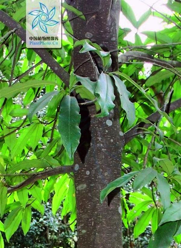 Vàng tâm - Loại cây sẽ thay thế 6.700 cây xanh ở Hà Nội có gì đặc biệt?