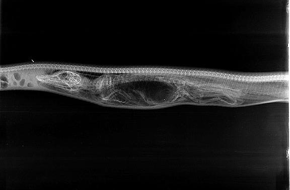 Chùm ảnh X-quang trăn tiêu hóa cá sấu trong bụng gây sốc